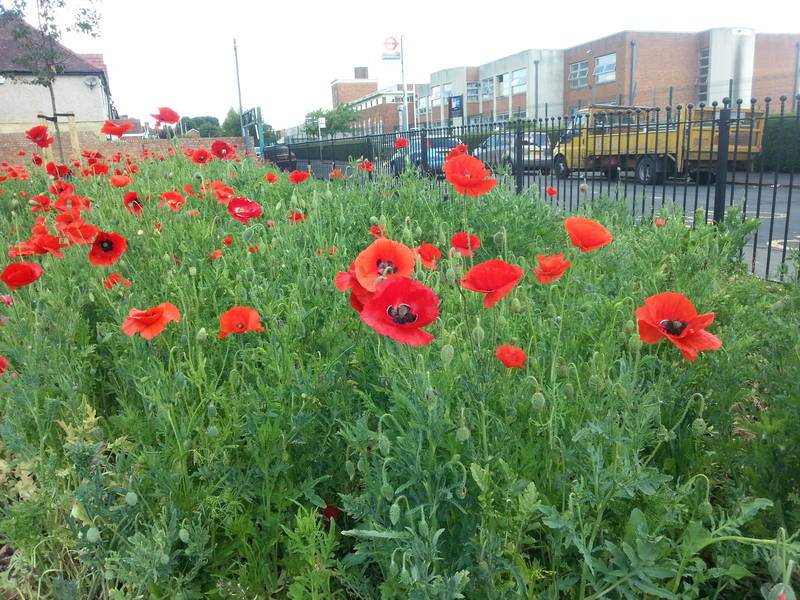Poppies opposite Mellow Lane